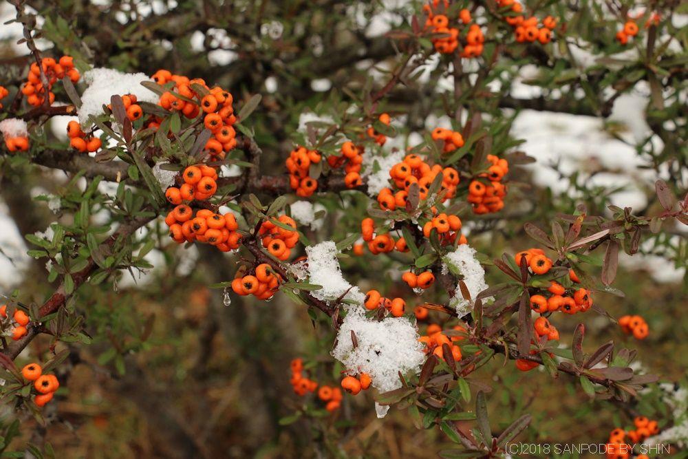 タチバナモドキの橙色の果実と枝の雪