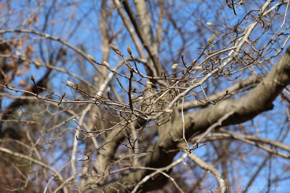 コブシの木の冬芽