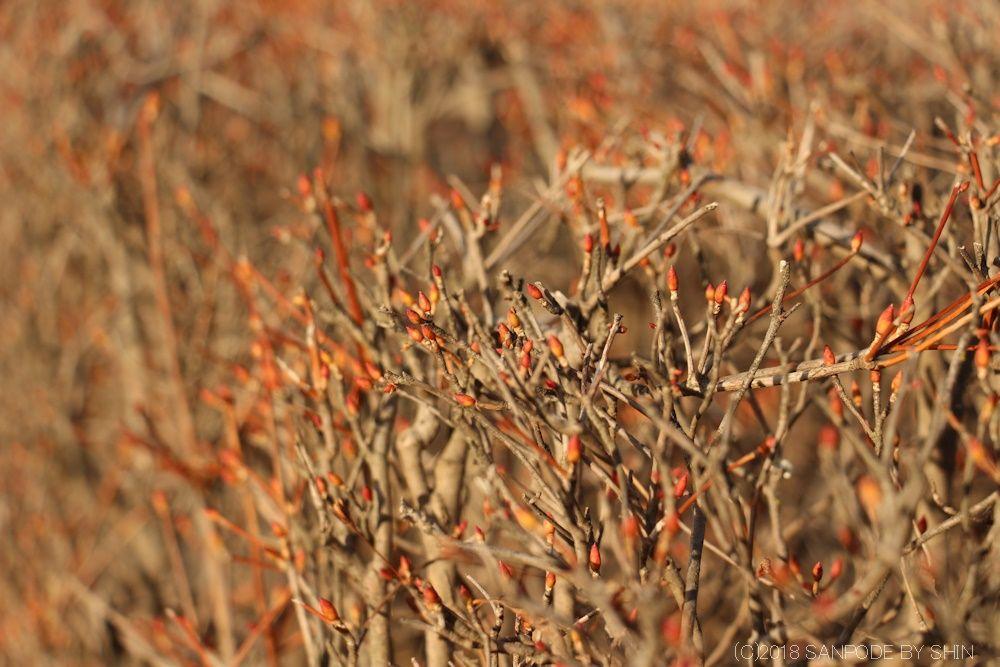 ドウダンツツジの冬芽