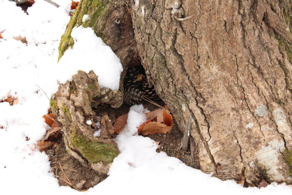 木の根元にある松ぼっくり