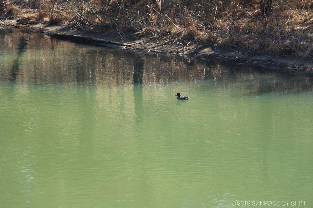 池の水面を優雅に泳いでいるカモ