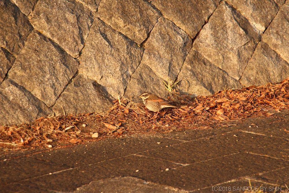 桂島緑地北側広場の石垣(東側)ツグミ