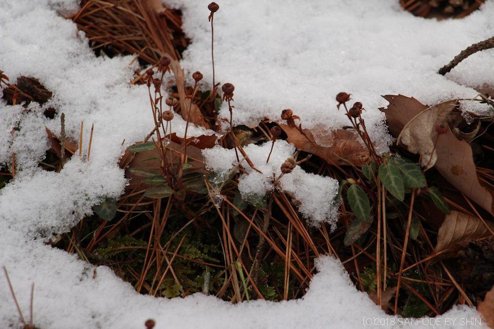 雪の中のウメガサソウ