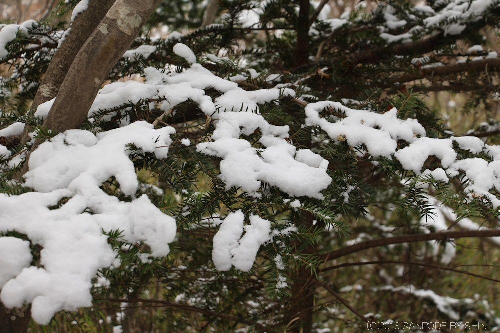 雪をのせたもみの木の枝