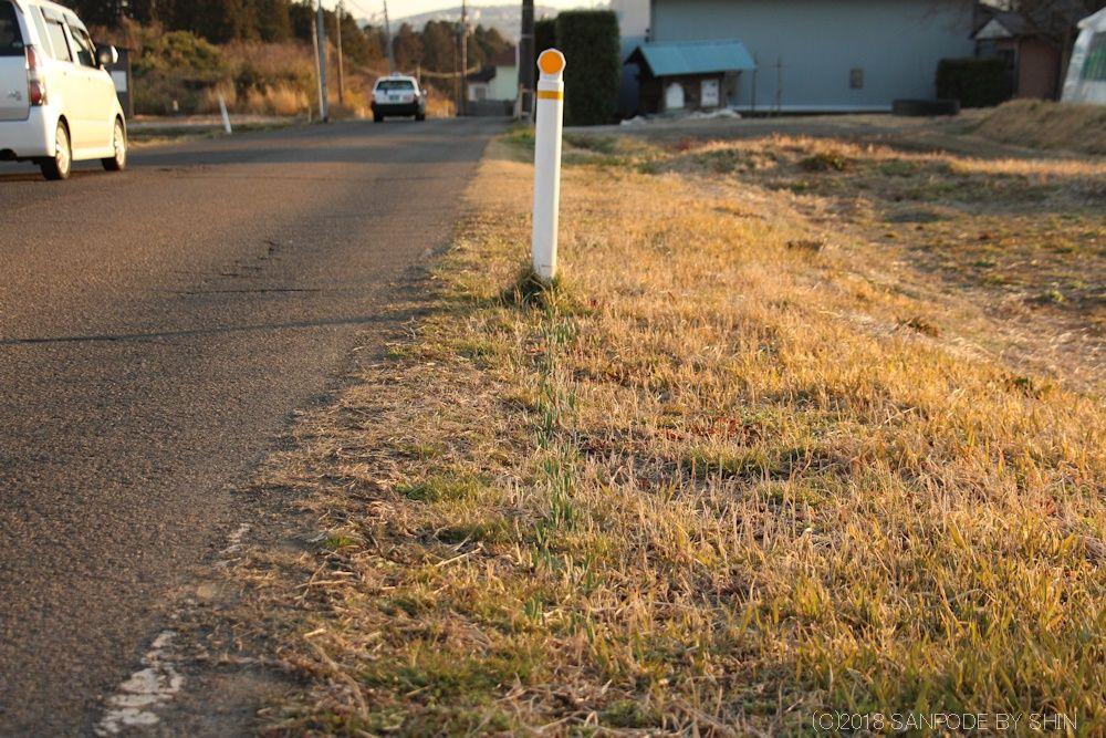 道路脇のスイセンの芽