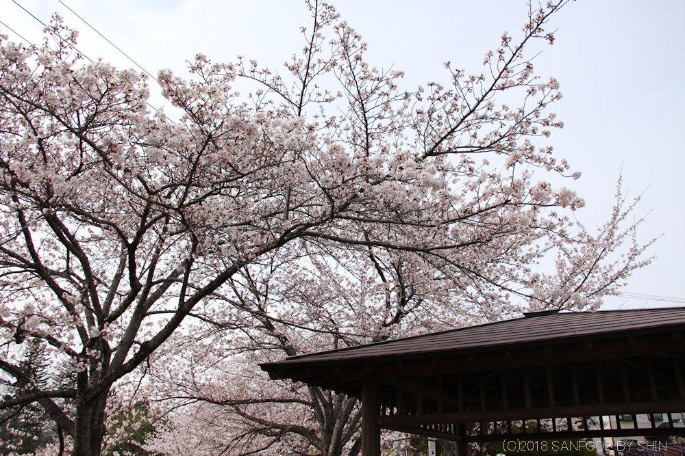 大倉緑地の桜とあずまや