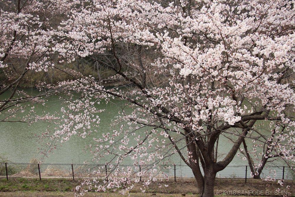 大倉緑地の池と桜