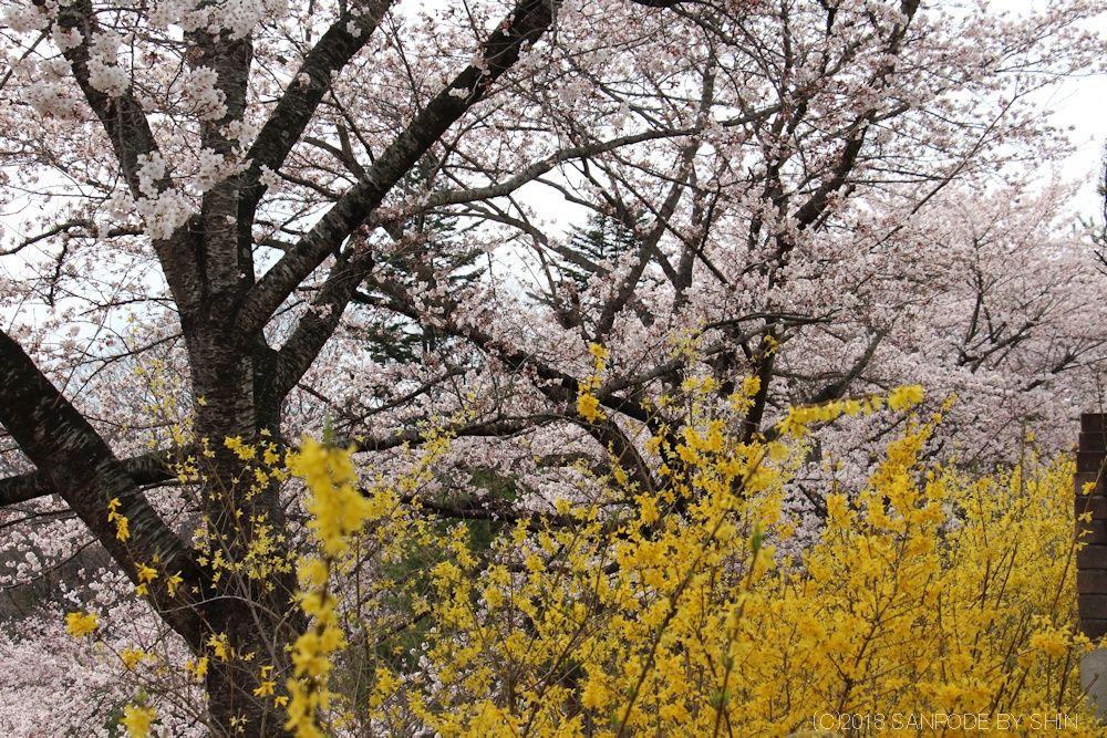 大倉緑地の桜とレンギョウの花