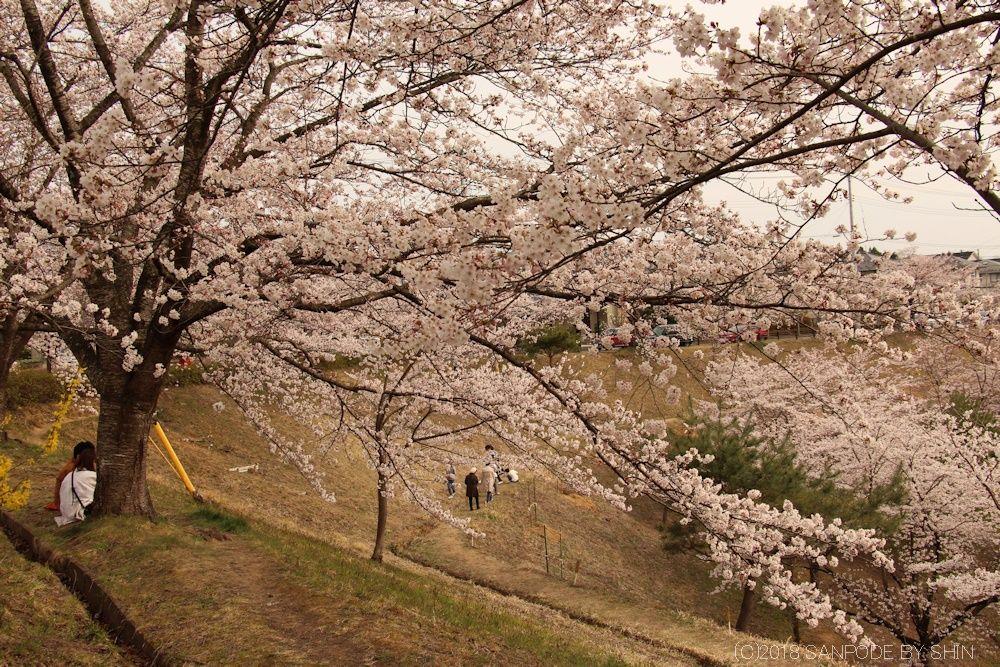 大倉緑地の桜の下で