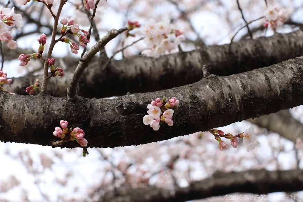大倉緑地の桜の枝に咲く花