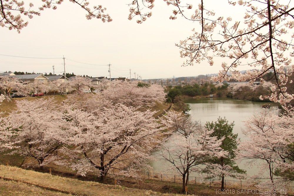 大倉緑地全景の桜