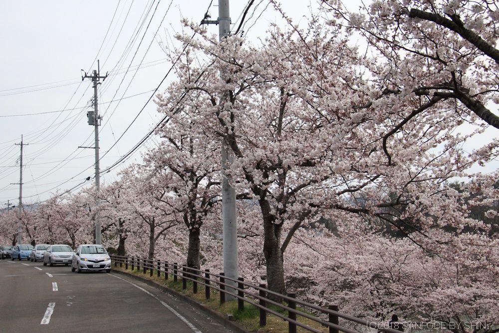 大倉緑地の側道から見た桜