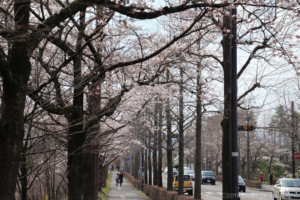 大倉緑地前バス通りの桜