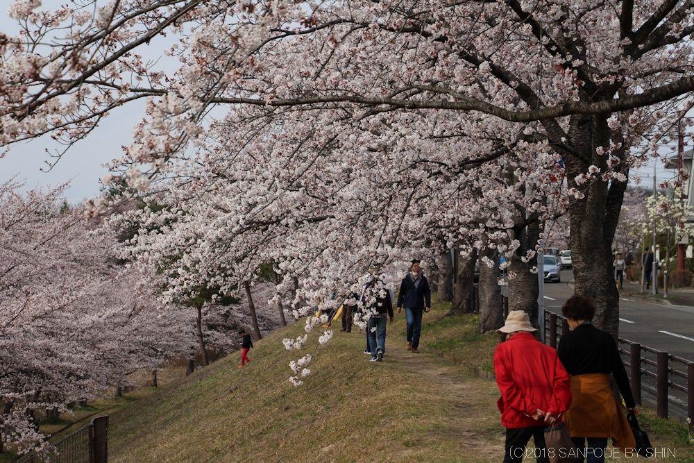 大倉緑地の桜並木