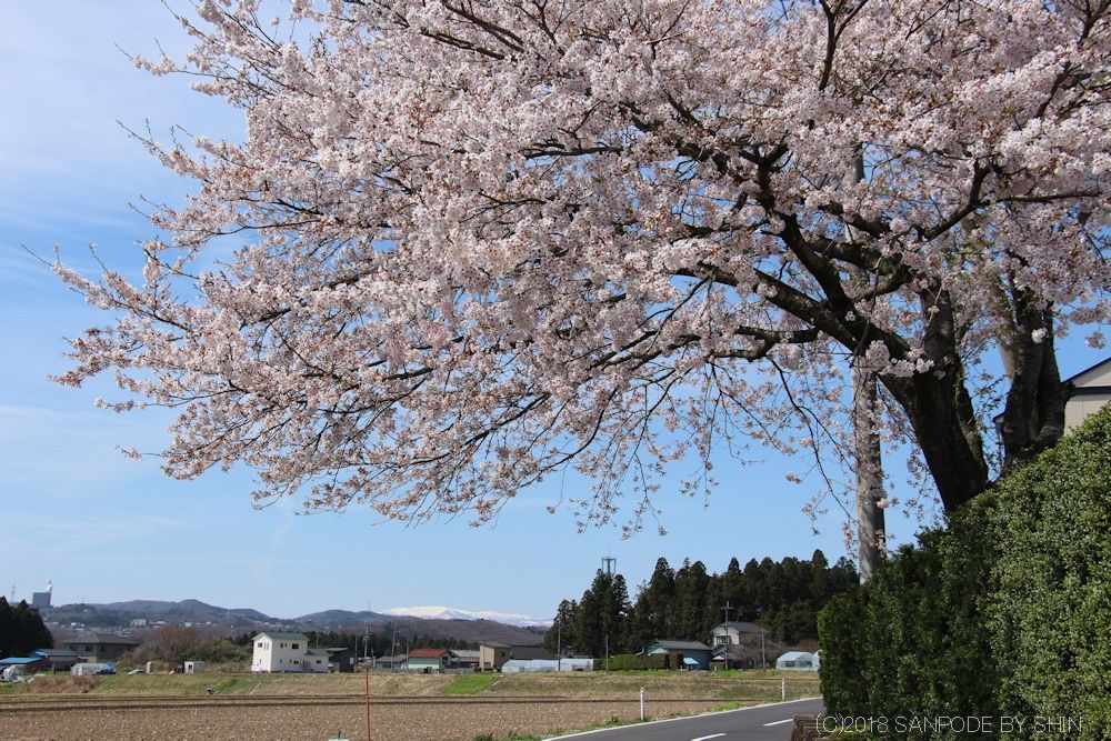 農家の庭先の桜