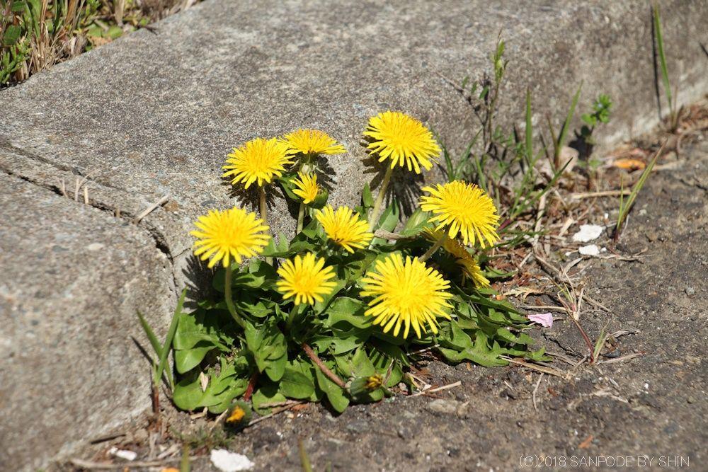 縁石の隙間に咲くたんぽぽ
