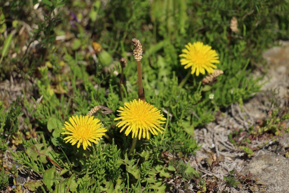 草地咲くタンポポと土筆