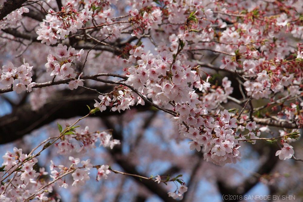 将監風致公園の桜