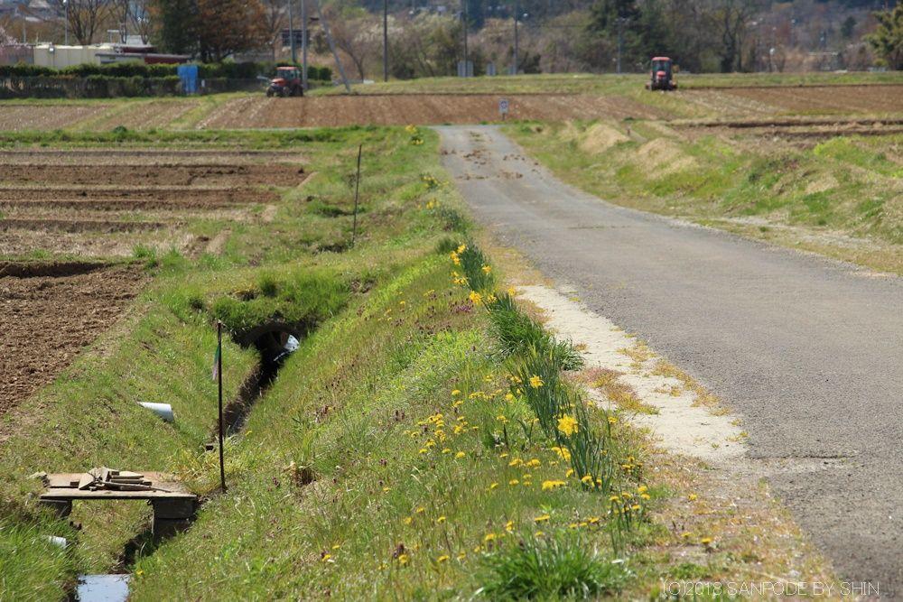 農道沿いの水仙の花