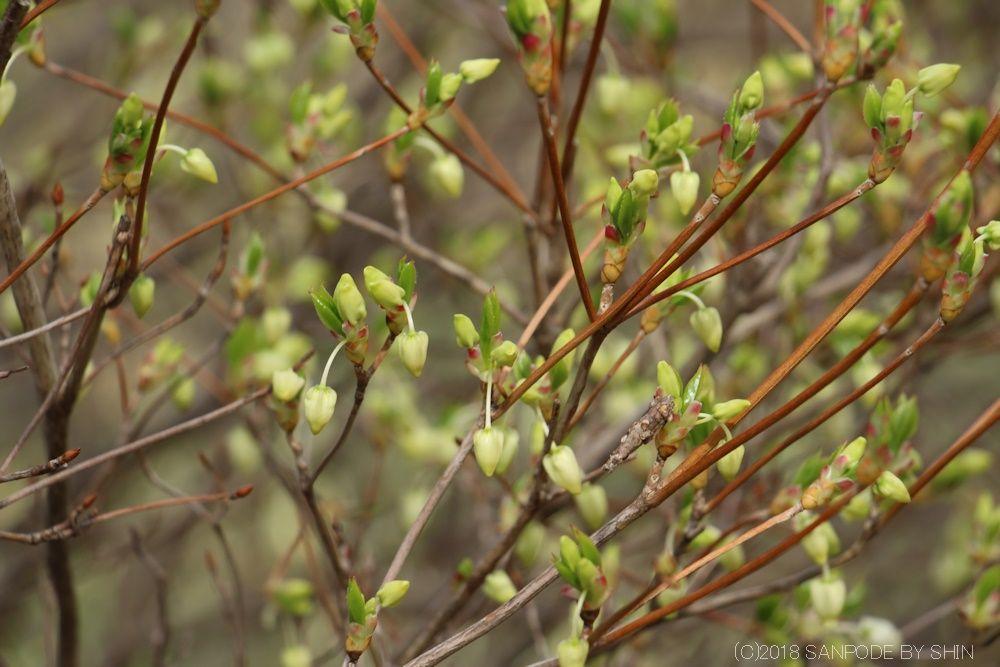 ドウダンツツジの芽が開く