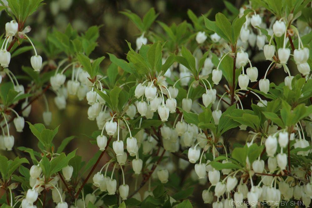 ドウダンツツジの葉と白い花