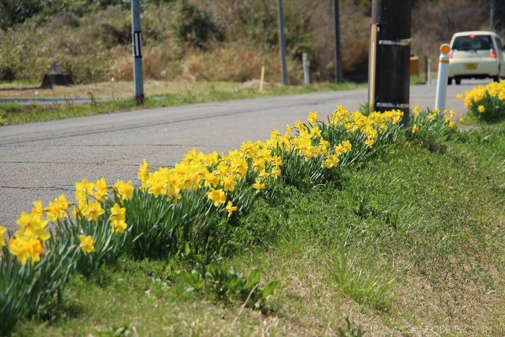 道路沿いに咲く水仙の花