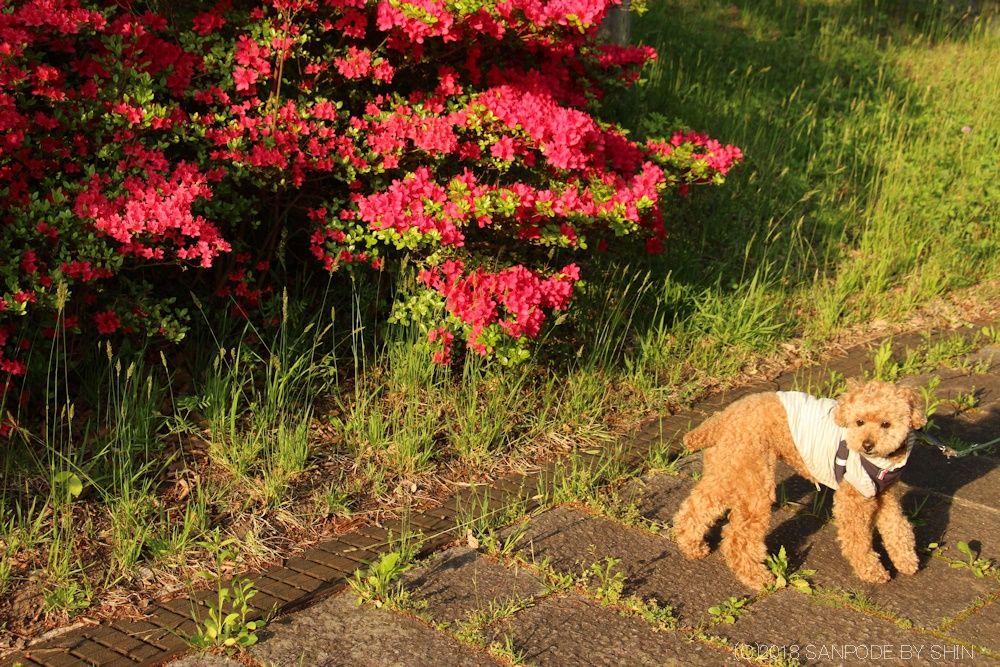 散歩道のツツジと子犬