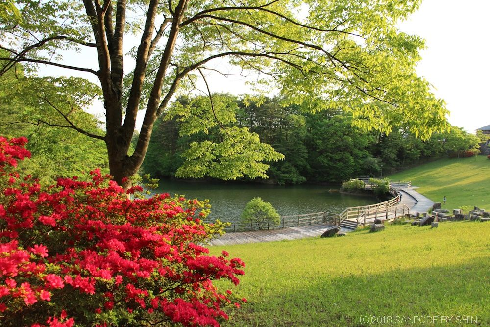 散歩道のツツジと池