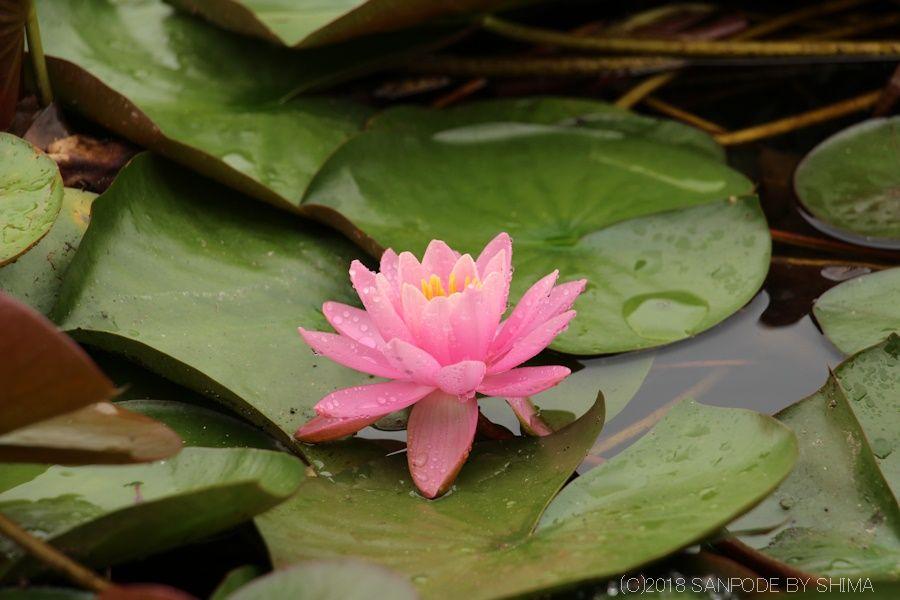 水面に浮かぶ睡蓮の花
