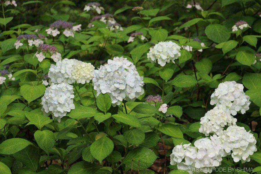 ホンアジサイの花