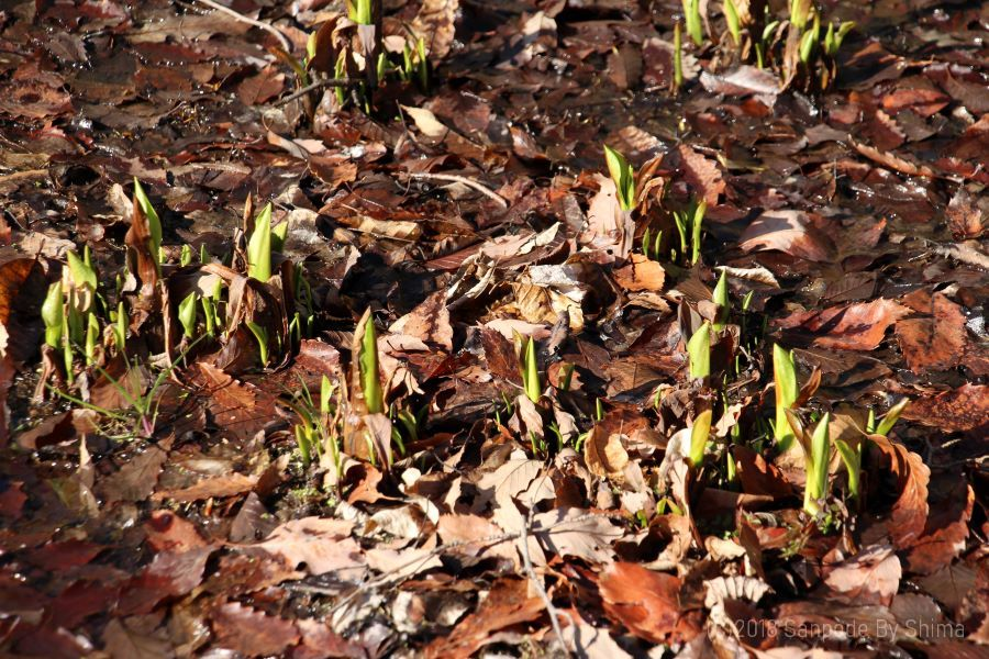ミズバショウの芽
