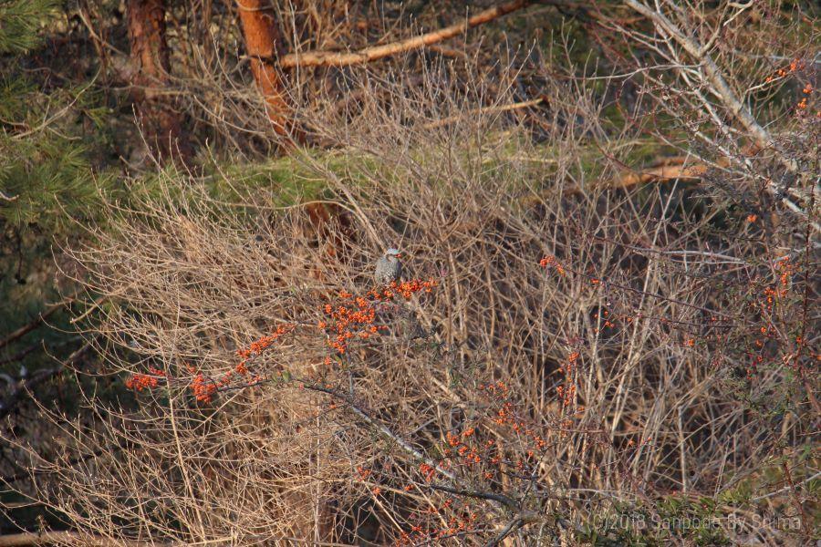 タチバナモドキの果実を食べる野鳥