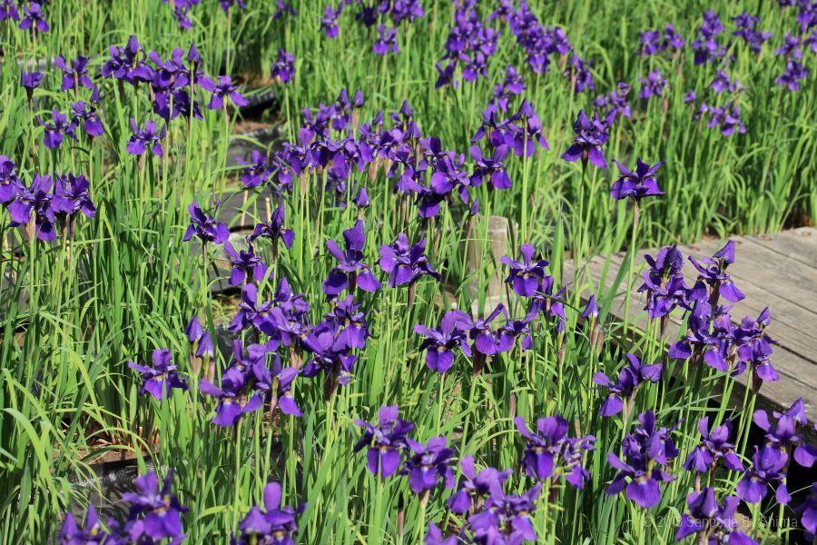 満開のアヤメの花