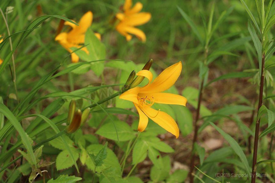 山吹色に咲いたニッコウキスゲの花