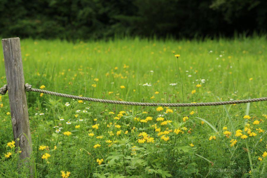 空き地に咲くセイヨウミヤコグサの花