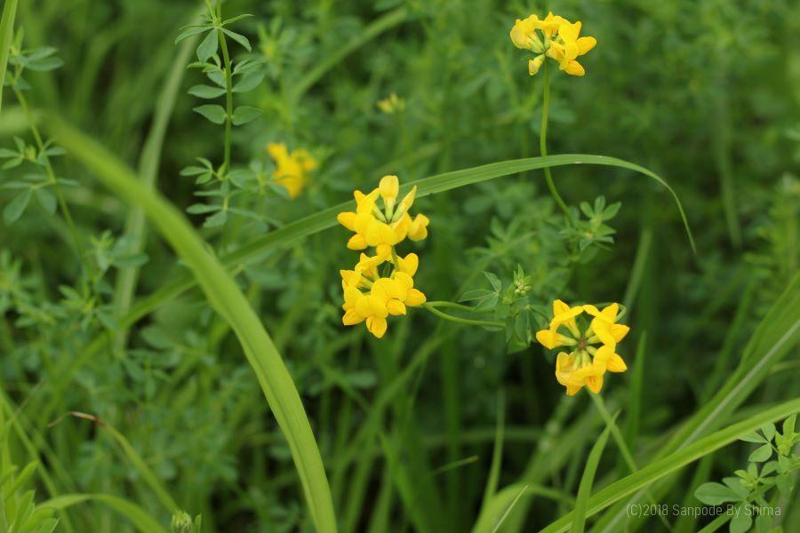セイヨウミヤコグサの花